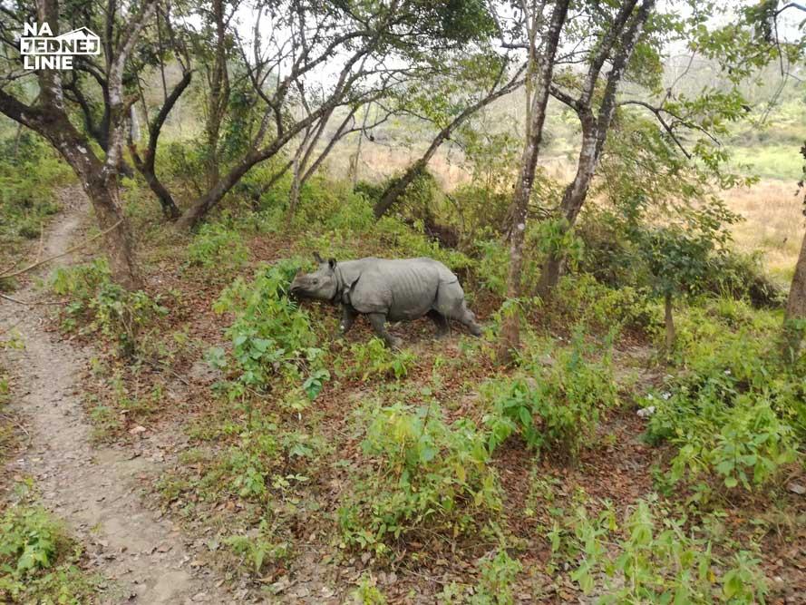 Wolno żyjący nosorożec w Nepalskim Parku Narodowym Chitwan