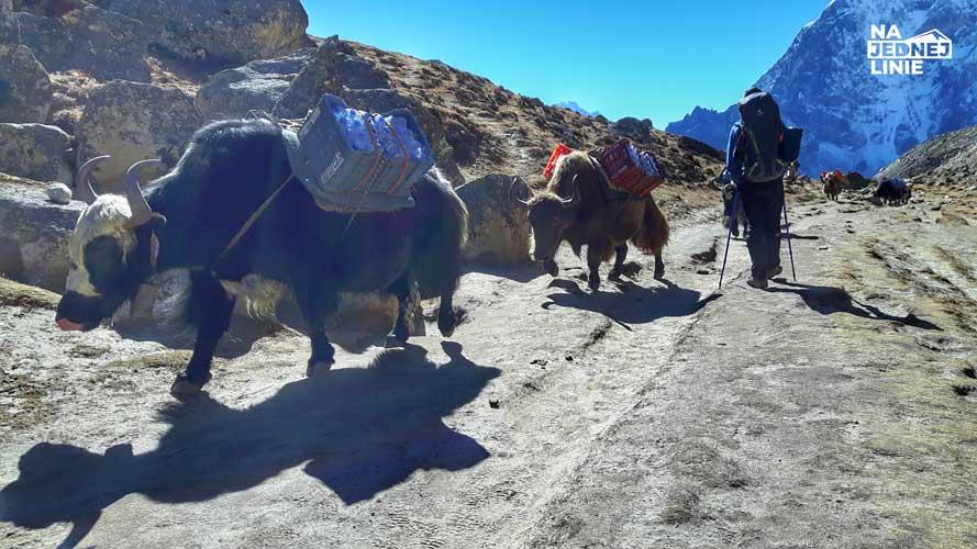 Yaki na szlaku pod Everest Base Camp. Zwierzęta są bardzo dobrze przystosowane do sporych wysokości, zimna i ciężkich ładunków